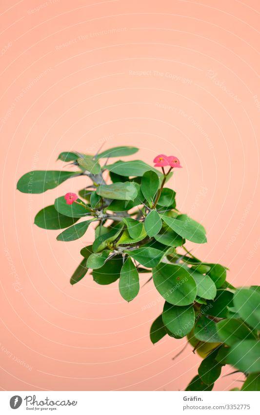 Wolfsmilchgewächs vor rosa Wand Pflanze Botanischer Garten Amsterdam Kontrast botanik Innenaufnahme Gewächshaus Blatt Farbfoto grün Wachstum Urwald exotisch