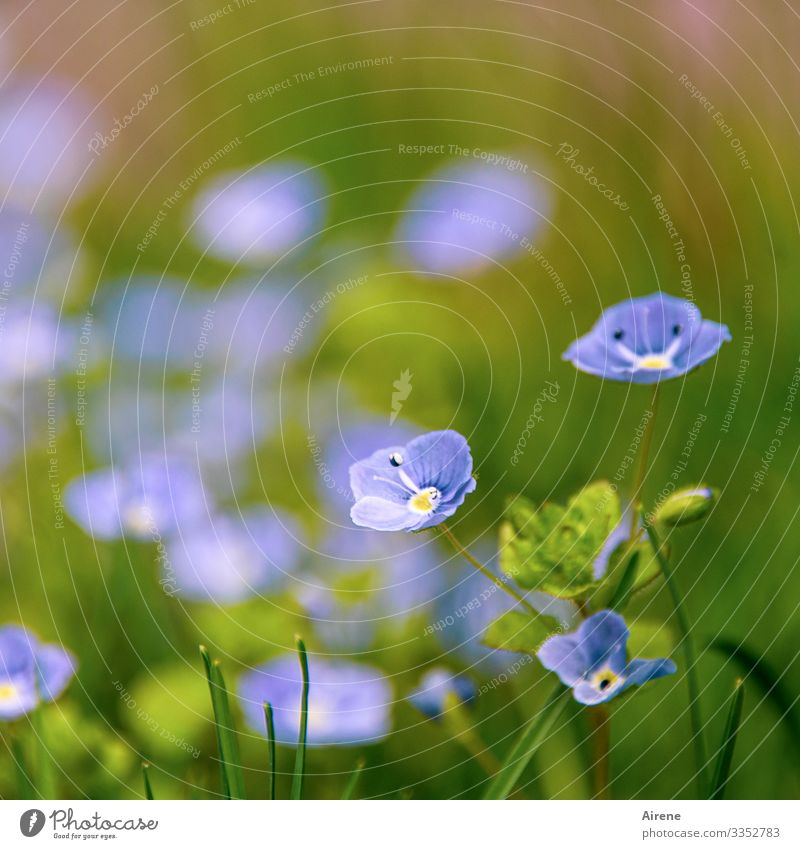Ehrenpreis - einfach so Pflanze Schwache Tiefenschärfe Blume Blühend blau Tag Natur Menschenleer grün Freundlichkeit hell klein schön Frühling Sommer Licht