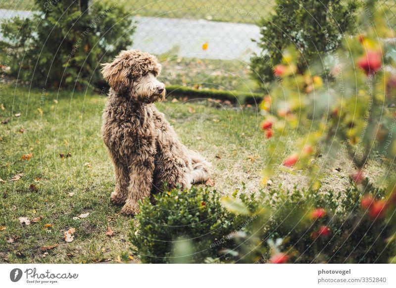 Frau Flauschig Umwelt Natur Pflanze Schönes Wetter Sträucher Blatt Blüte Tier Haustier Hund 1 beobachten Freundlichkeit Fröhlichkeit braun grün Gefühle Stimmung
