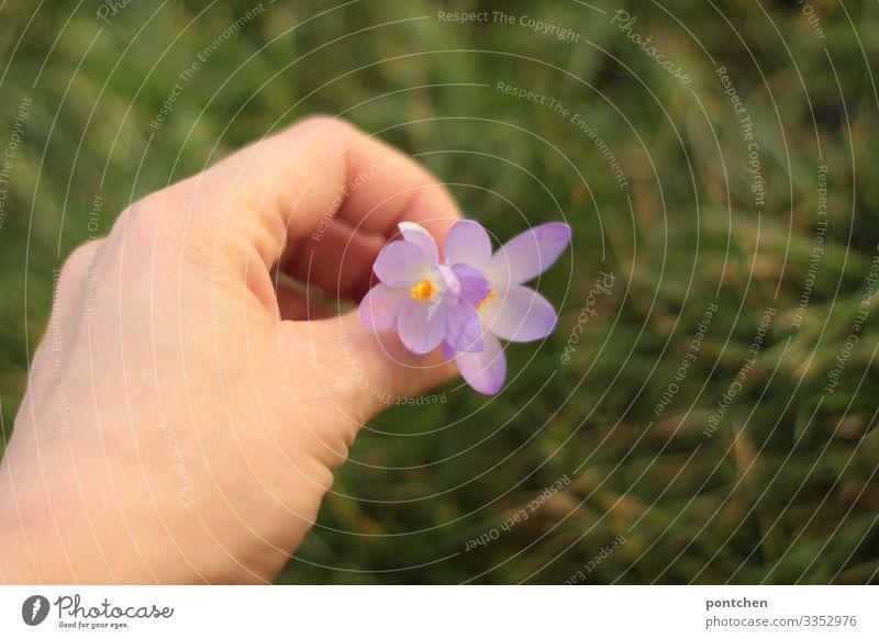 Frauenhand pflückt lila Blumen. Grünes Gras im Hintergrund Hand Umwelt Natur Pflanze Klimawandel Wiese gelb grün violett paarweise pflücken Valentinstag