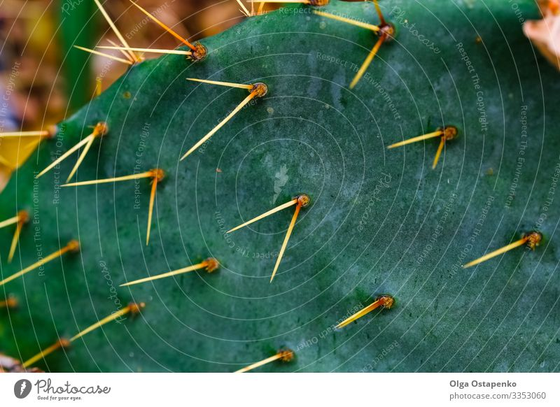 Natürliche Kaktus-Textur.Kaktusnadeln. Makro.Arizona exotisch Sommer Garten Natur Pflanze Klima Wärme Blume Blüte Wachstum eckig groß hell natürlich stachelig