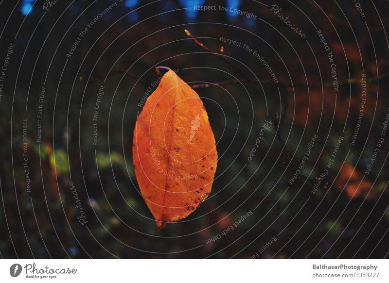 Stimmungsvoller Herbst Umwelt Natur Pflanze Wetter Baum Wildpflanze Wald Holz ästhetisch dunkel frisch orange ruhig kalt herbstlich Herbstlaub Herbstwald