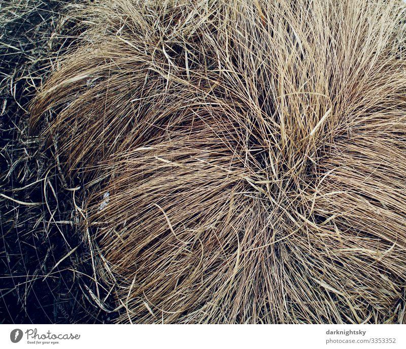 Beige farbiges, trockenes Gras in einem großen Büschel zur Winterzeit im Hohen Venn, Belgien, nahe der Eifel Umwelt Natur Pflanze Herbst Klima Schönes Wetter