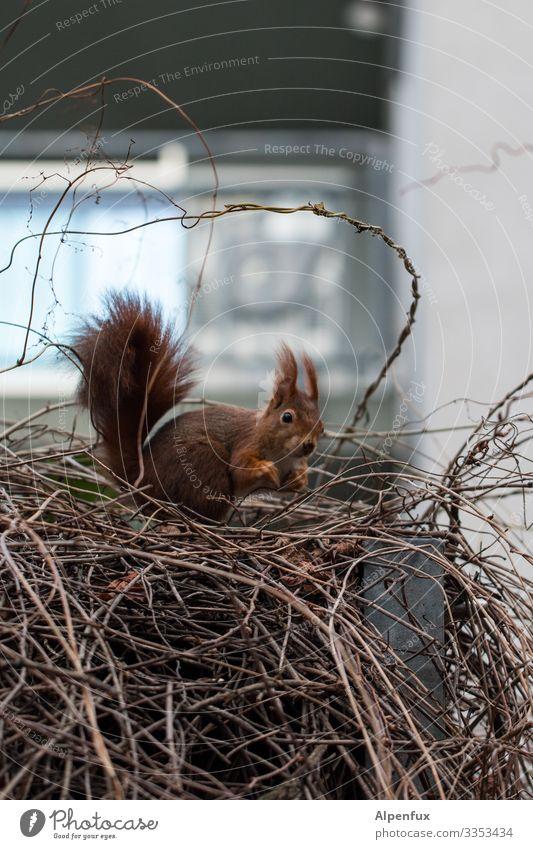 Eichhörnchen Umwelt Natur Tier Wildtier 1 beobachten Blick niedlich Freude Fröhlichkeit Lebensfreude ansammeln verstecken Versteck Farbfoto Außenaufnahme