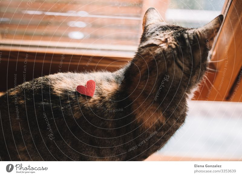 Tabby-Katze mit rotem Glitzerherz aus Karton. Valentinstag Büroarbeit Pelzmantel Haustier Herz Liebe Zusammensein Gefühle Idee Kreativität Backenbart liebevoll