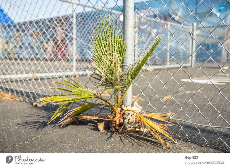 Palme wächst durch den Asphalt Natur Pflanze Frühling Sommer Schönes Wetter Baum Platz Spielplatz Sportplatz Wachstum Erfolg Unendlichkeit Stadt blau gelb grau