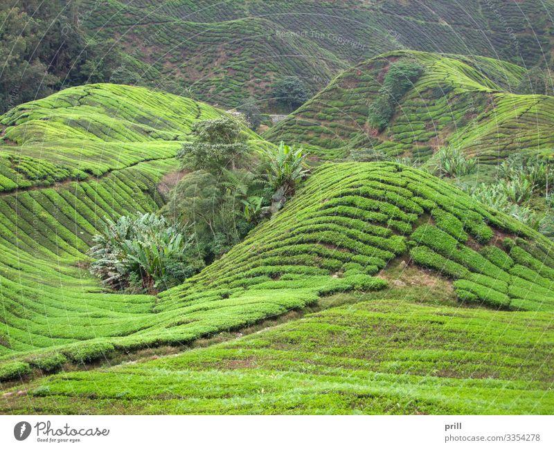 Tea plantation in Malaysia Berge u. Gebirge Landwirtschaft Forstwirtschaft Landschaft Pflanze Sträucher Feld Hügel Wege & Pfade saftig grün Teeplantage
