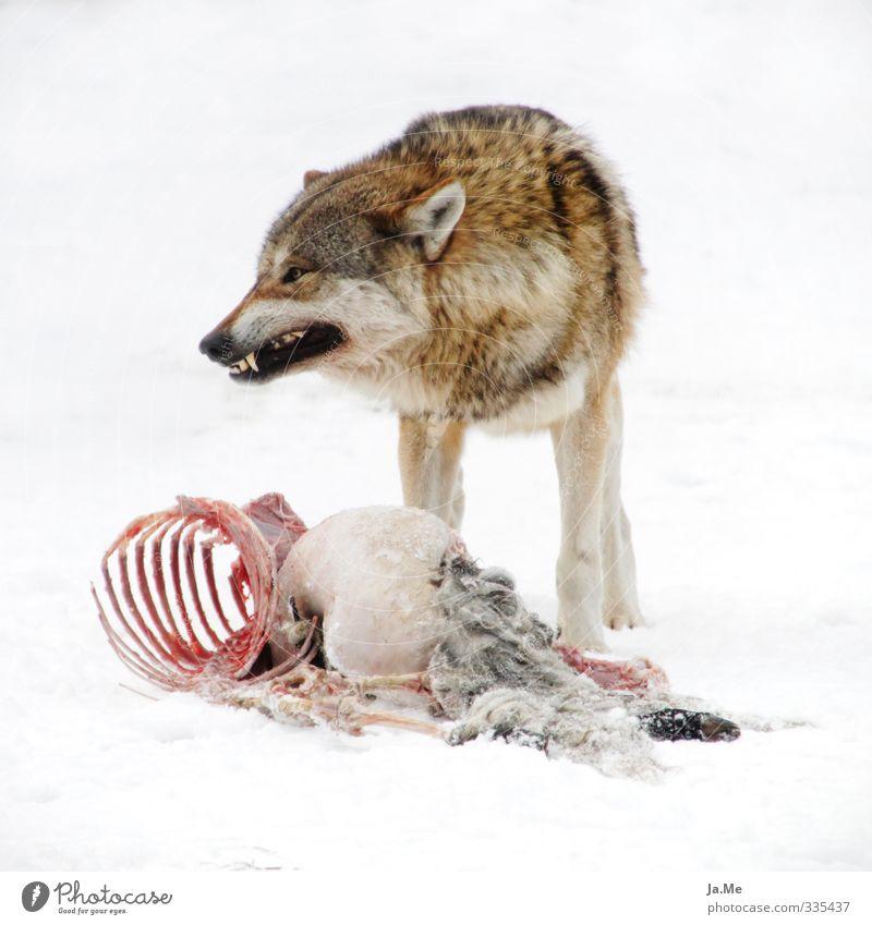 Ich hab da irgendwas zwischen den Zähnen... Tier Wildtier Totes Tier Hund Tiergesicht Fell Krallen Wolf hundeartige 1 Fressen füttern Jagd kämpfen Aggression