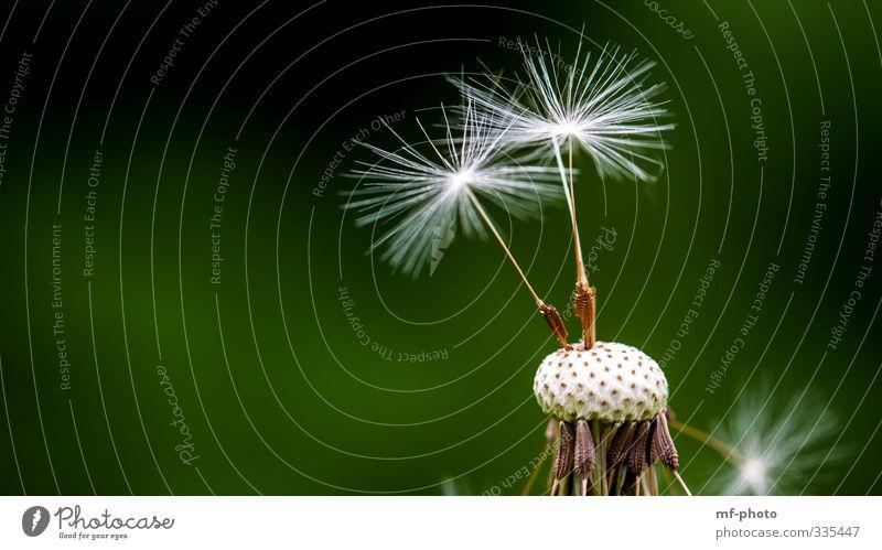 weggepustet Natur grün weiß Pflanze Frühling Garten braun Löwenzahn