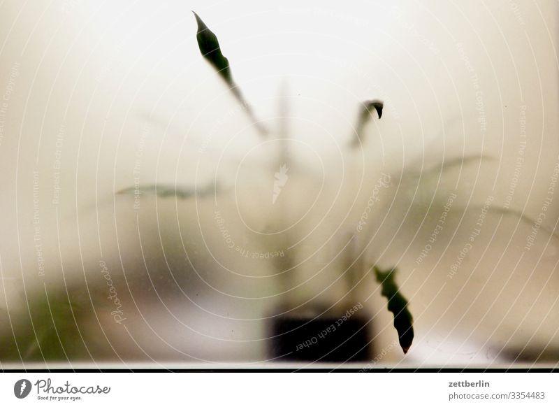 Topfpflanze Pflanze Zimmerpflanze Blume Blumentopf Blatt Fenster Schaufenster durchsichtig Milchglas Unschärfe unklar geheimnisvoll Innenaufnahme