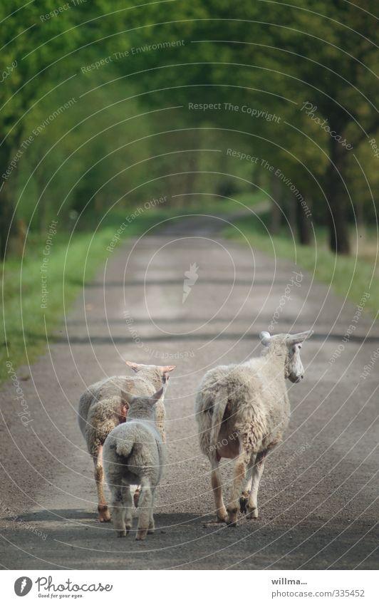 Schaf Heidi, Hildrun und Holly-Marie... Lamm 3 gehen Tierfamilie Nutztier Straße Wald Wege & Pfade laufen Spaziergang Familienausflug Rückansicht Schafe