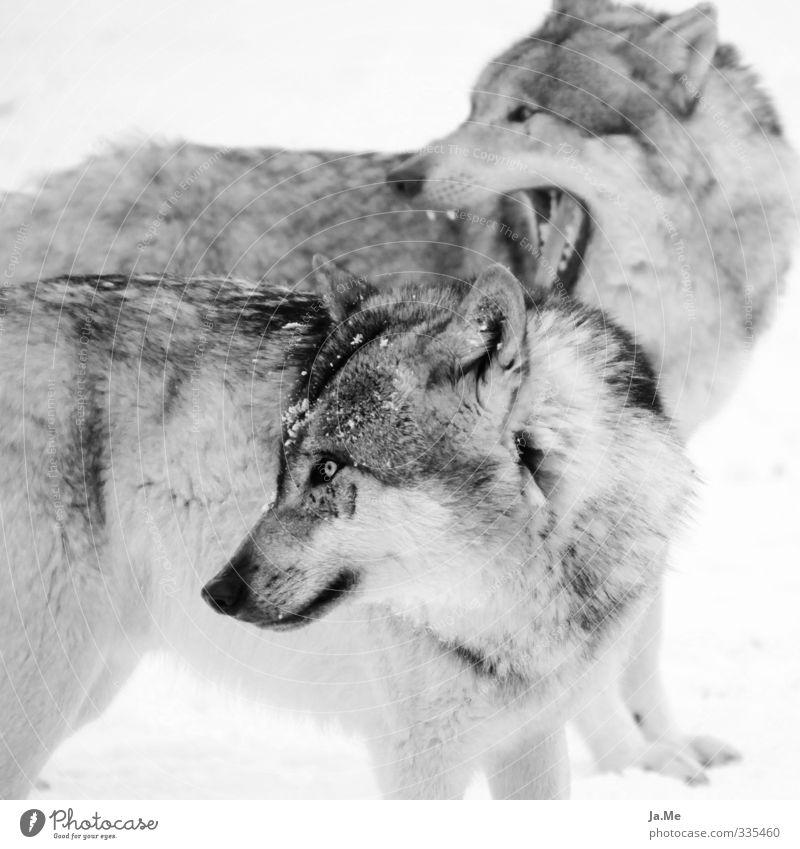 Wölfe - weil ich sie einfach liebe! Hund Natur weiß Tier schwarz grau Tierpaar Wildtier beobachten Neugier Fell Tiergesicht hören Interesse Rudel Wolf