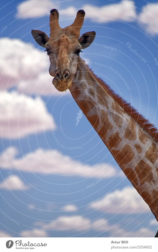 Smile Tier Wildtier Tiergesicht Fell Zoo Giraffe 1 Wolken Ferien & Urlaub & Reisen Fröhlichkeit gigantisch Glück groß niedlich blau weiß Freude Zufriedenheit