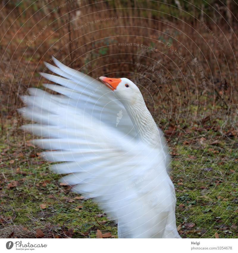 eine weiße Gans flattert mit den Flügeln Wiese Tier Haustier Vogel Tiergesicht Feder Schnabel Hals 1 Bewegung Blick stehen außergewöhnlich einzigartig natürlich