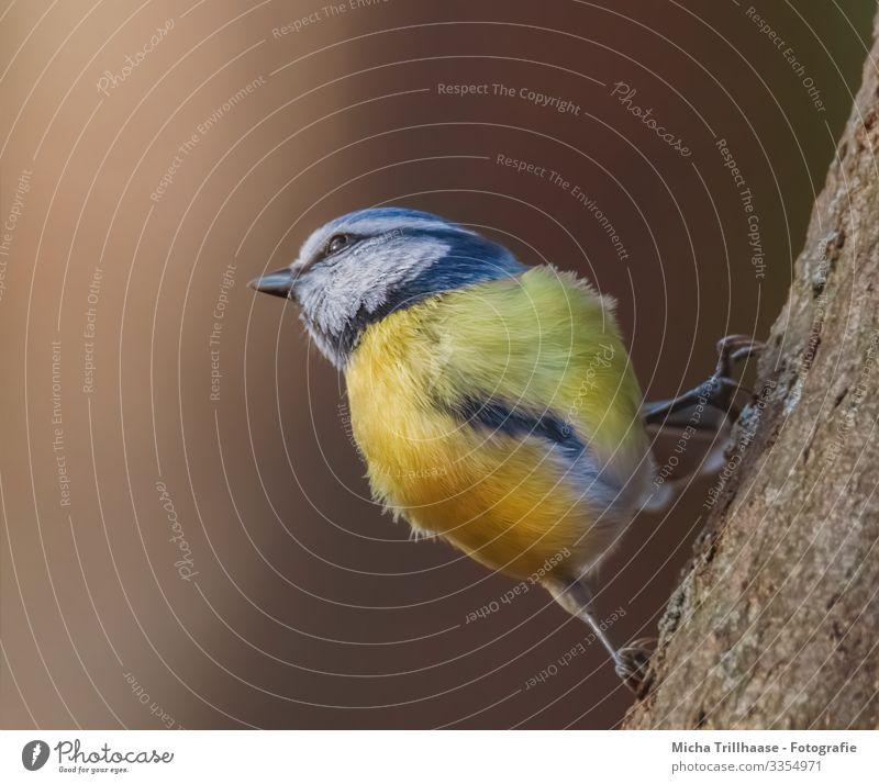 Blaumeise im Sonnenschein Natur Tier Sonnenlicht Schönes Wetter Baum Baumstamm Wildtier Vogel Tiergesicht Flügel Krallen Meisen Kopf Auge Schnabel Feder