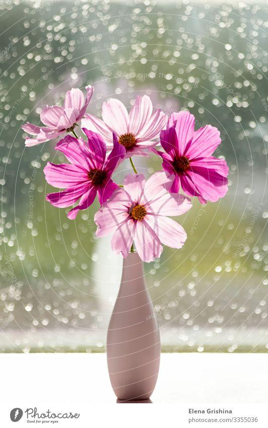 Ein Strauß sommerlicher Kosmosblumen (rosa Kosmetik) in einer Vase. elegant Design Sommer Sonne Dekoration & Verzierung Feste & Feiern Valentinstag Muttertag