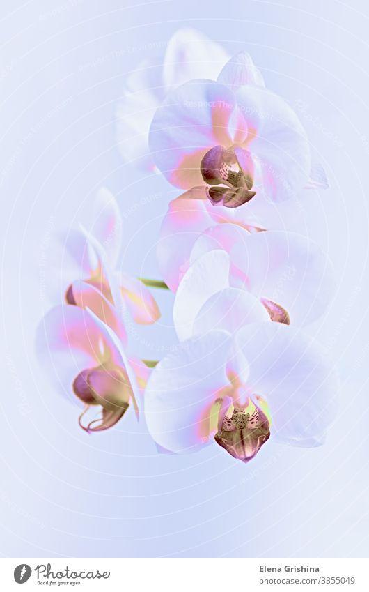 Weiße Orchidee im Neonlicht. Nahaufnahme. elegant Design exotisch Innenarchitektur Dekoration & Verzierung Feste & Feiern Valentinstag Muttertag Hochzeit