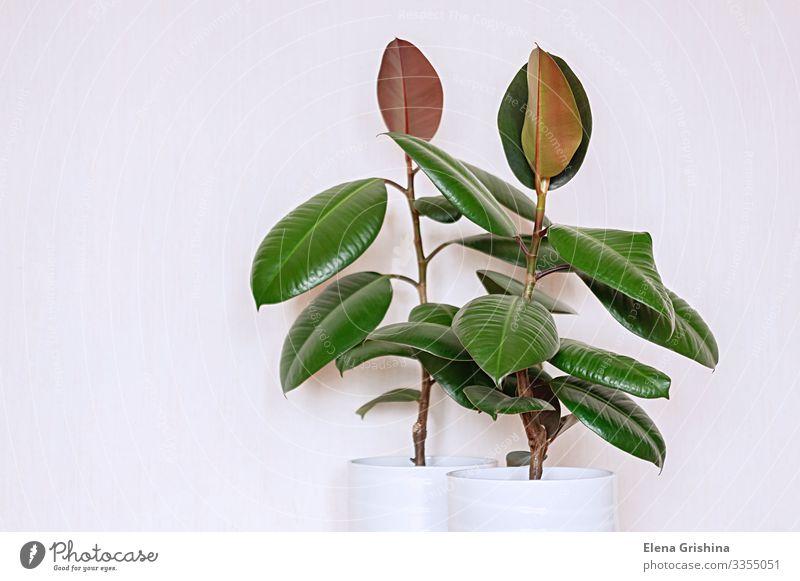 Zwei Zimmerpflanzen Ficus elastisch in weißen Keramikblumentöpfen. Design Haus Innenarchitektur Gartenarbeit Natur Pflanze Blume Blatt Blüte Grünpflanze
