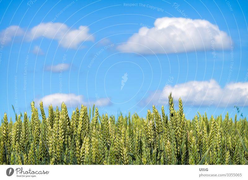Ein zur Ernte reifendes Getreidefeld unter blauem Himmel. Ähren Feld Landwirtschaft Biolandwirtschaft Nutzpflanze Lebensmittel Natur Pflanze Ährenfeld