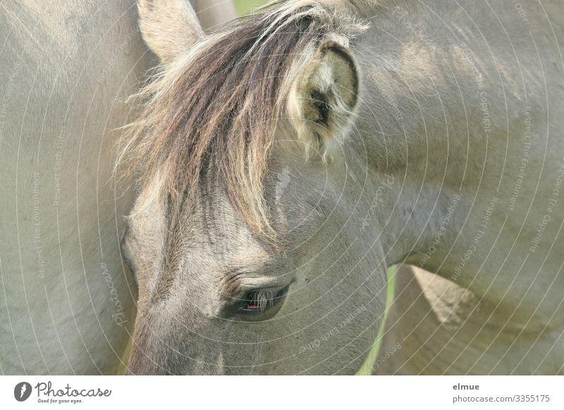 Schimmel mit Pony Pferd Fell Fellfarbe Auge Ohr Mähne stehen sportlich schön nah grau Glück Vorfreude Vertrauen Tierliebe Abenteuer elegant Freizeit & Hobby