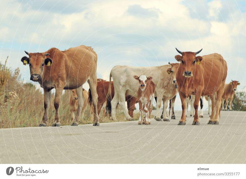 Rinderherde mit Kälbern auf einer Straße Kuh Ferien & Urlaub & Reisen Abenteuer Himmel Wolken Sommer Schönes Wetter Nutztier Kalb Hornvieh Kuhherde Herde