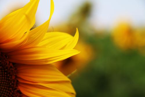 sonnenersatz Natur Landschaft Sonne Sommer Blume Blüte Nutzpflanze Sonnenblume Blütenblatt Garten Wiese Feld Wärme gelb schön sommerlich leuchten