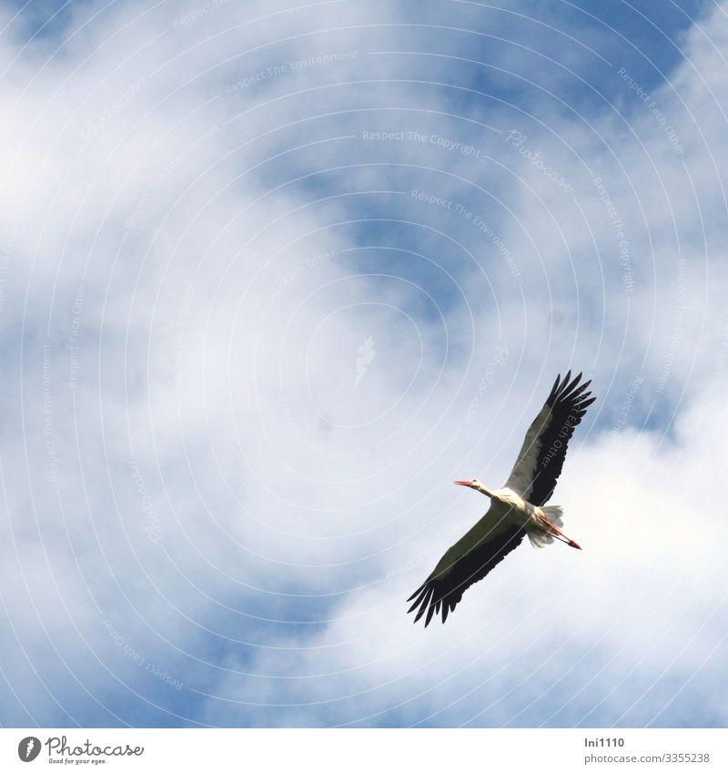 Storch beim Segelflug am Himmel Natur Wolken Schönes Wetter Wildtier Vogel 1 Tier blau grau schwarz weiß fliegend Vogelflug Spannweite schön Glücksbringer