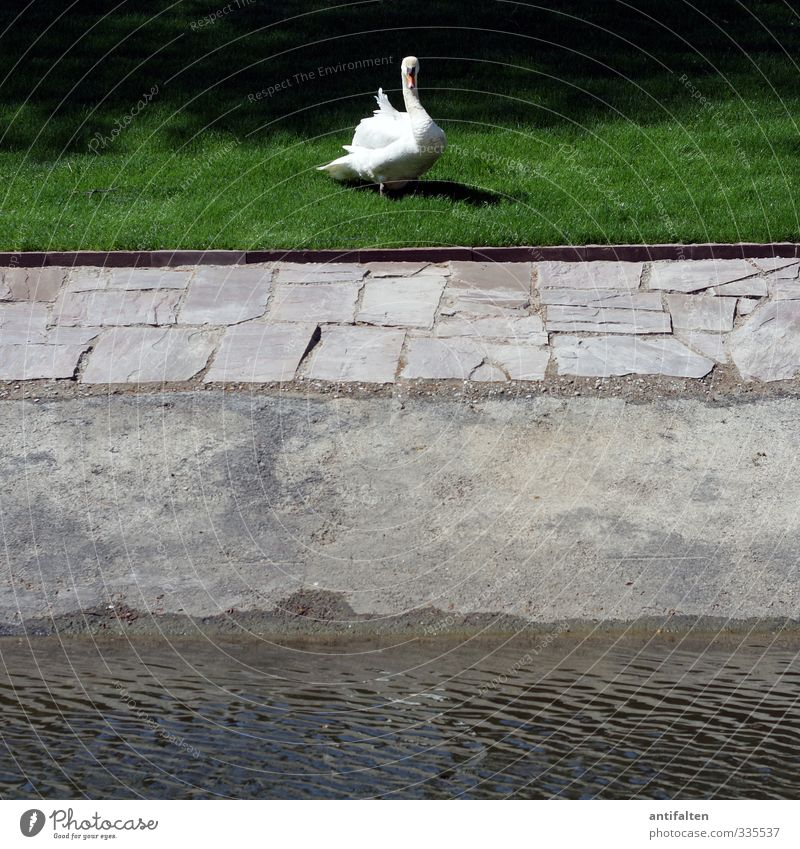 Schwan mittig Natur Wasser Frühling Sommer Schönes Wetter Gras Rasen Park Wiese Teich Düsseldorf Stadt Stadtzentrum Platz Hofgarten Wege & Pfade Tier Wildtier