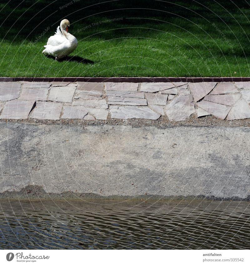 Schwan links Natur grün schön Wasser weiß Sommer ruhig Tier Wiese Gras Frühling grau Garten Park Wildtier Schönes Wetter