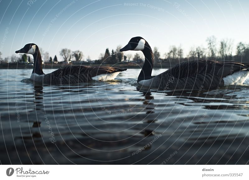 Gegen den Strom (Branta leucopsis) Umwelt Natur Wasser Himmel Wolkenloser Himmel Schönes Wetter Flussufer Rhein Tier Wildtier Vogel Wildgans 2 Tierpaar