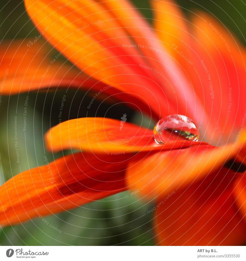 Drop Natur Landschaft Pflanze Blume Blatt Blüte Gerbera Tropfen Zusammensein Romantik Erotik schön Vorsicht Gelassenheit geduldig ruhig Farbfoto Außenaufnahme
