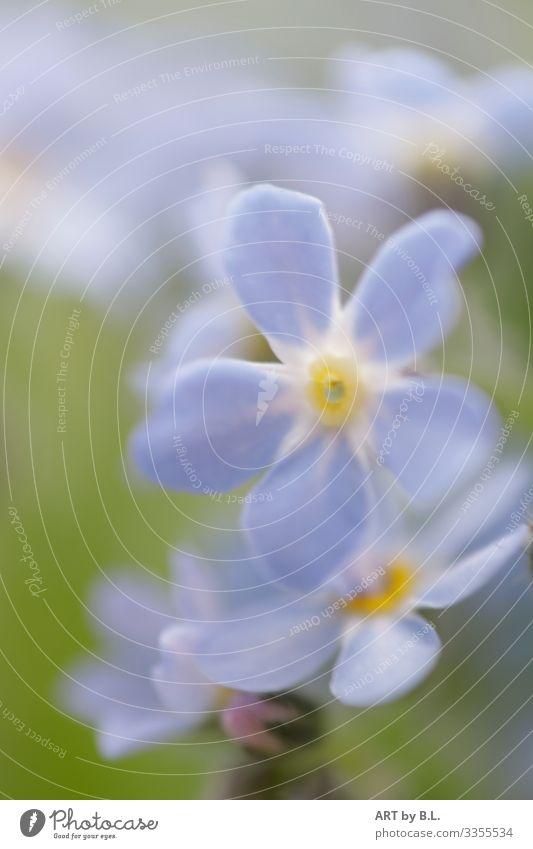 Vergissmeinnicht Natur Pflanze Frühling Sommer Herbst Blume Blatt Blüte Vergißmeinnicht Blühend blau gelb grün Farbfoto Gedeckte Farben Menschenleer
