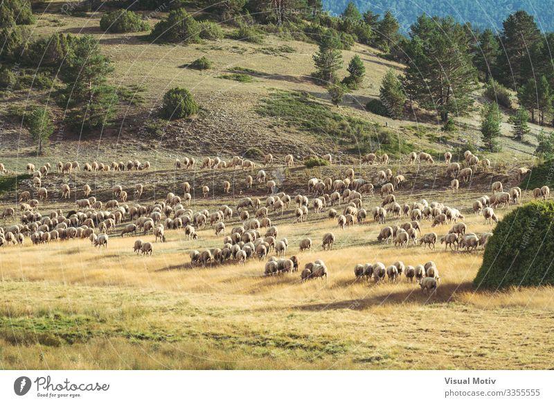 Auf dem Feld weidende Schafherde schön Leben Sommer Berge u. Gebirge Umwelt Natur Landschaft Pflanze Tier Baum Gras Hügel Tiergruppe Herde Fressen natürlich