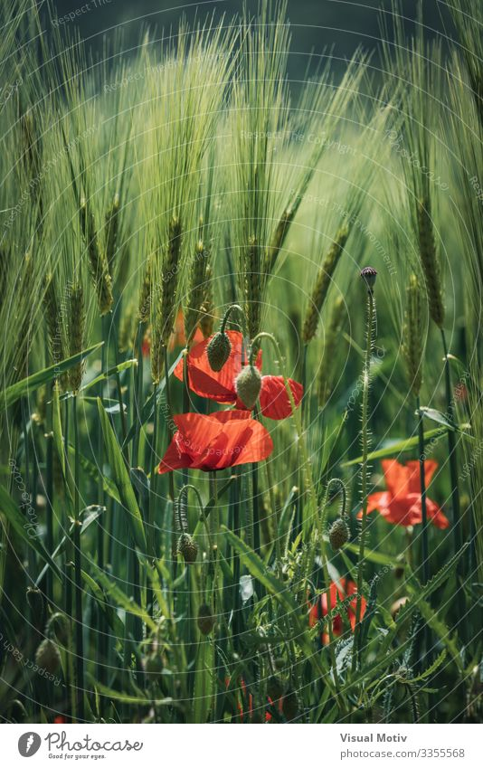 Mohnblumen zwischen Weizenähren schön Garten Natur Pflanze Blume Blüte Park Wachstum frisch natürlich grün rot Farbe botanisch Jardi Botanic Botanik Feld