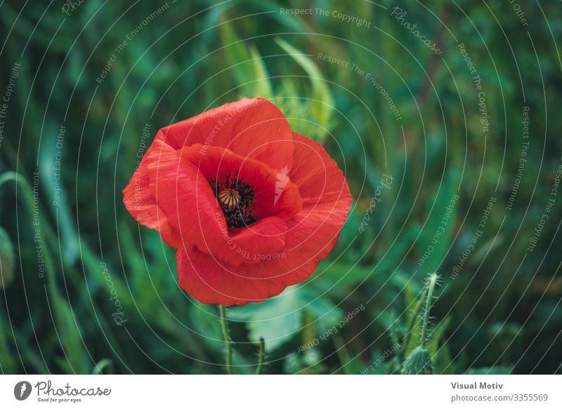 Rote Mohnblume und Knospen schön Garten Natur Pflanze Blume Blüte Park Wiese Wachstum frisch natürlich grün rot Farbe Schönheit in der Natur botanisch
