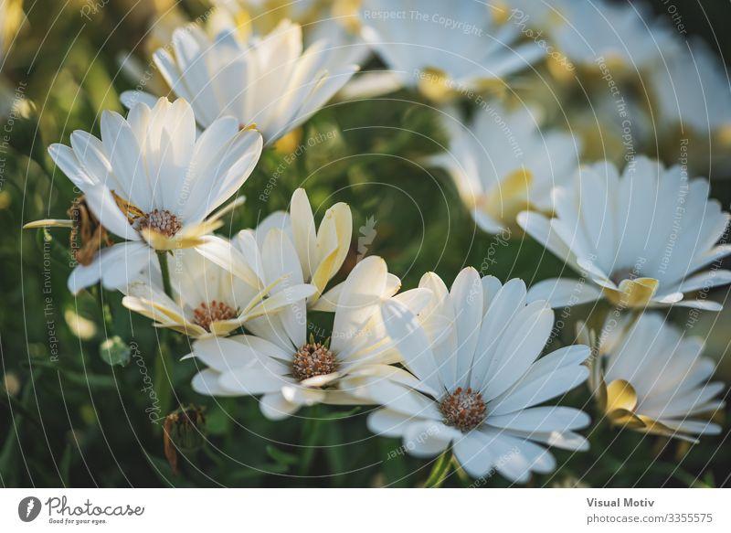 Weiße Gänseblümchen am Nachmittag schön Garten Natur Pflanze Blume Park Wachstum frisch grün weiß Farbe Blütenpflanze Zerbrechlichkeit verwundbar Blütenblatt