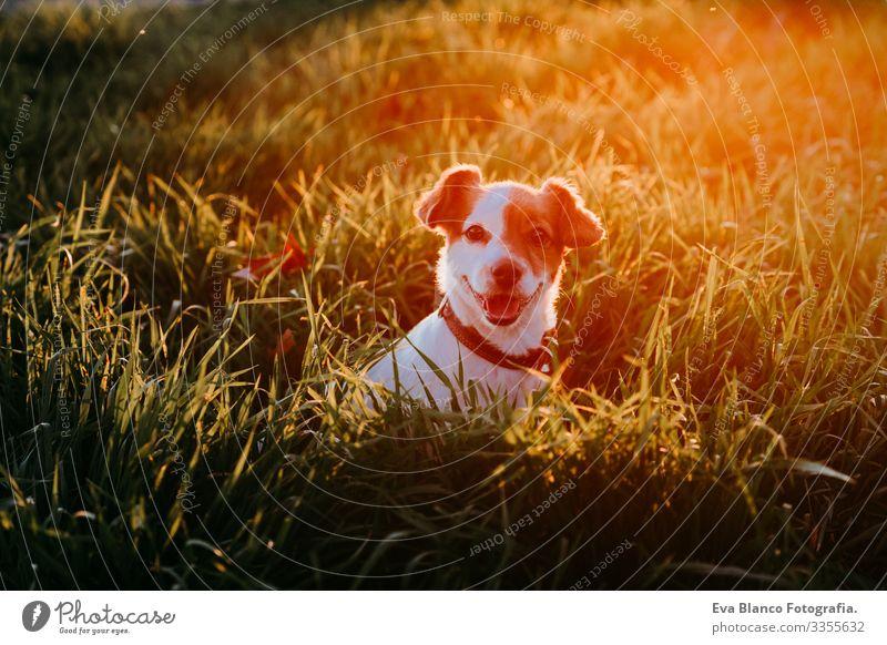 Porträt eines schönen Jack-Russell-Hundes, der bei Sonnenuntergang im Freien sitzt. Glücklicher Hund Jack-Russell-Terrier Haustier Natur Wege & Pfade grün Gras