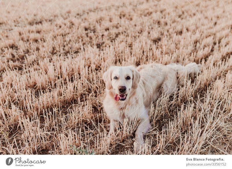 Bezaubernder Golden Retriever Hund im gelben Feld bei Sonnenuntergang. Wunderschönes Porträt eines jungen Hundes. Haustiere im Freien und Lebensstil Reinrassig