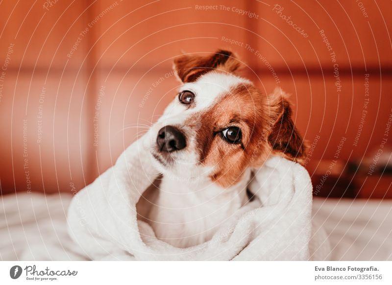 süßer kleiner Jack-Russell-Hund, der an einem sonnigen Tag mit einer Decke zugedeckt auf dem Bett liegt niedlich Jack-Russell-Terrier schlafen Müdigkeit ruhen