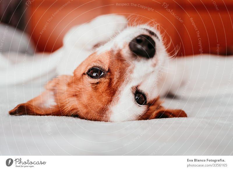 süßer kleiner Jack-Russell-Hund, der an einem sonnigen Tag mit einer Decke zugedeckt auf dem Bett liegt auf den Kopf gestellt niedlich Jack-Russell-Terrier