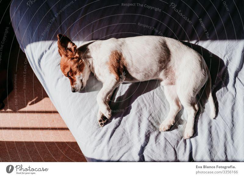 süßer kleiner Jack-Russell-Hund, der sich an einem sonnigen Tag auf dem Bett ausruht niedlich Jack-Russell-Terrier schlafen Müdigkeit ruhen aussruhen