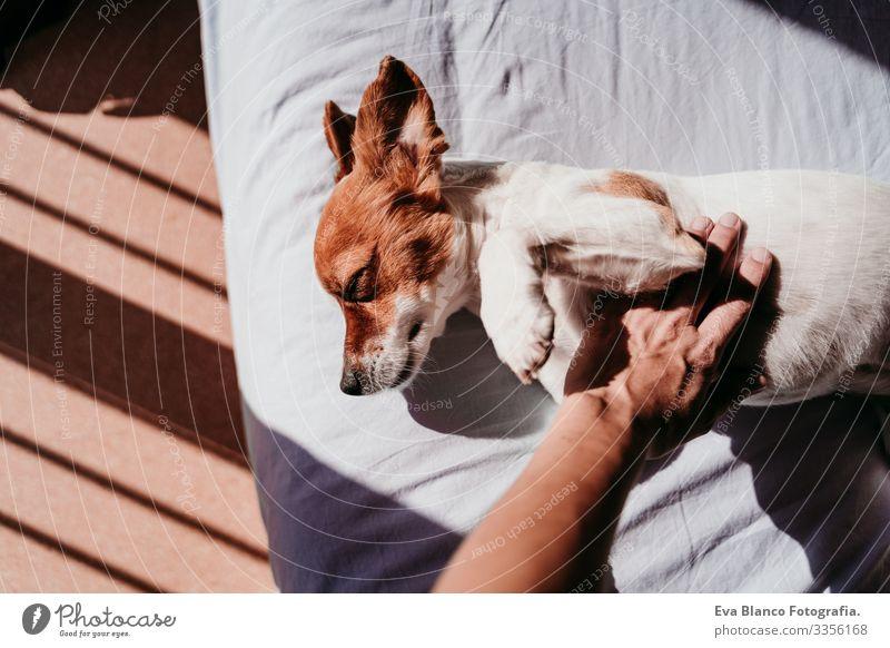 Frau Hand berührend süßer kleiner Jack Russell Hund, der an einem sonnigen Tag auf dem Bett liegt Besitzer niedlich Jack-Russell-Terrier schlafen Müdigkeit