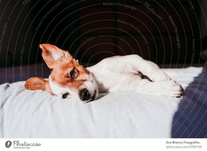 Nahaufnahme eines süßen kleinen Jack-Russell-Hundes, der an einem sonnigen Tag auf dem Bett liegt niedlich Jack-Russell-Terrier schlafen Müdigkeit ruhen