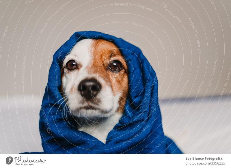 porträt des niedlichen Jack Russell in ein blaues Taschentuch gewickelt klassisches Blau Schal Hund Bett Jack-Russell-Terrier aussruhen klein lieblich reizvoll