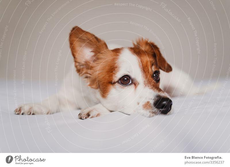 süßer Jack-Russell-Hund, der auf dem Bett liegt und mit einem komischen Ohr lauscht niedlich Jack-Russell-Terrier aussruhen klein lieblich reizvoll Erholung