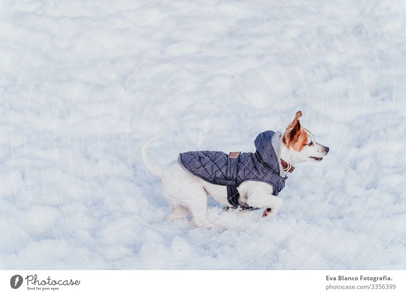 Porträt eines schönen Jack-Russell-Hundes im Freien, der im Schnee spielt und rennt. Wintersaison Spielen spielerisch Jack-Russell-Terrier niedlich klein