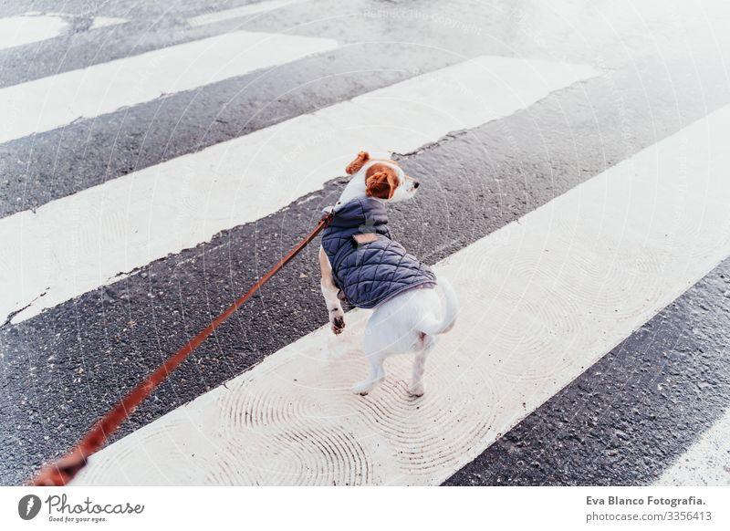 Jack Russell Hund beim Gehen am Fußgängerüberweg. Wintersaison Jack-Russell-Terrier Überfahrt Großstadt Mantel anleinen Hand Besitzer Haustier Stadt Sicherheit