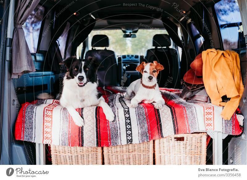 zwei niedliche hunde in einem van, border collie und jack russell entspannen sich. reisekonzept 2 Hund Freundschaft Border Collie Jack-Russell-Terrier
