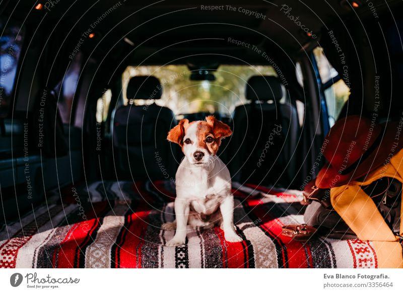 süßer jack russell hund entspannt sich in einem van. reisekonzept niedlich klein Jack-Russell-Terrier Hund Haustier Kleintransporter Van Leben