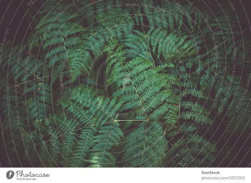 Farnblatt-Pflanze im Hintergrund Sommer Garten Umwelt Natur Gras Blatt Wald Wachstum frisch natürlich neu wild grün Farbe Wurmfarn Farne Seeland Frühling